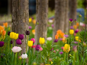 Blooming Tulips in Garden