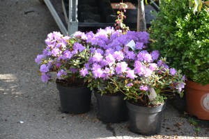 Vår-rhododendron